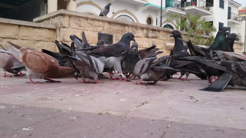 Flock of pigeons crowding central city square. Environmental pollution problem Footage