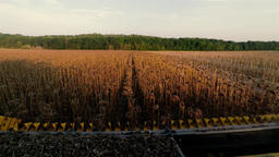 POV view from harvester combine cabin 4k high speed video: cropping sunflowers Footage