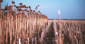 Panorama sunflowers field 4k video. Ripe dried harvest Rural agricultural Footage