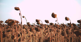 Field ripe dried sunflowers harvest 4k POV high speed video. Mature heads seeds Footage