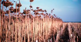 Panorama of sunflowers field 4k video. Ripe dried helianthus harvest Footage