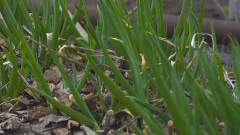 Green onions close-up on a garden bed. Selective focus ライブ動画