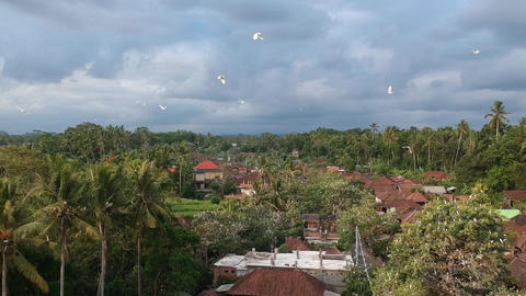 flying past flying white cranes petulu heron bird colony watch point near ubud Live Action
