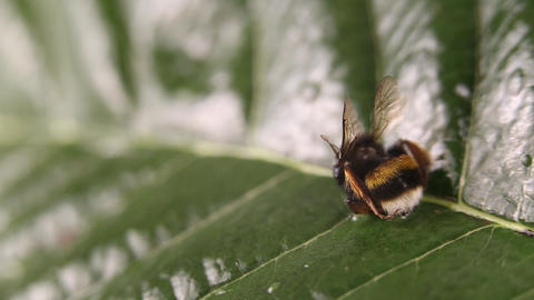 Nature alert concept: close up of a bumble bee (Bombus) dead in selective focus on a green leaf ライブ動画