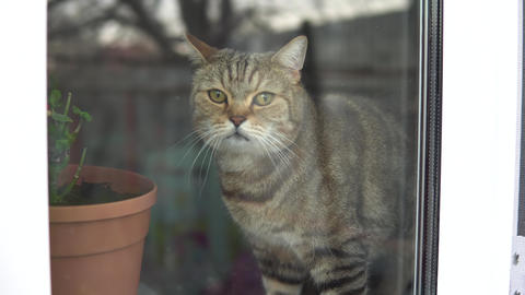 British cat sits at home in quarantine. The cat sits on the windowsill and looks Live Action