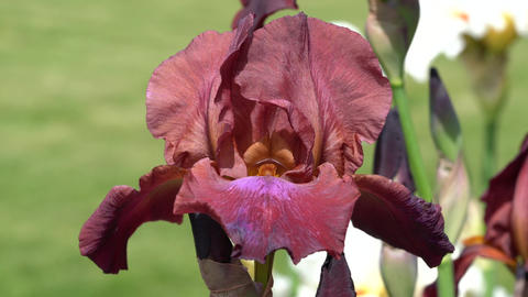 German iris (Iris barbata), close up of the flower head Live Action