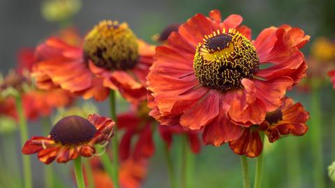 Helens Flower (Helenium), flowers of summertime Live Action
