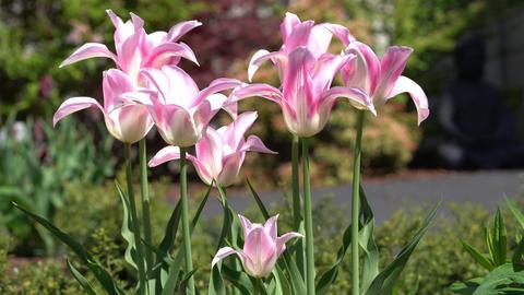 Flora - Tulipa 0