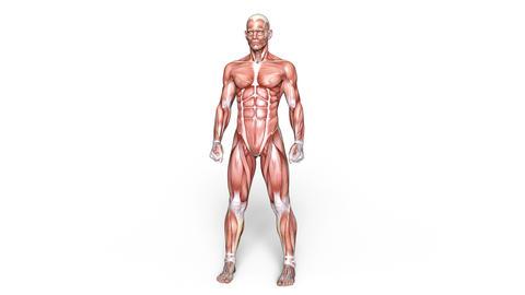 UHD-Muscle Animation