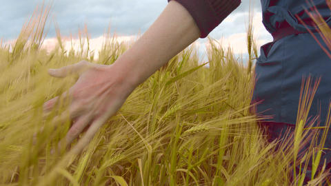 Farmer touching wheat in field, organic crops, farming labor, rural landscape Footage