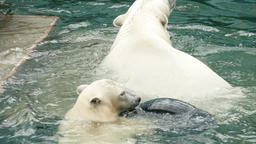 Polar bears swims and dives Footage