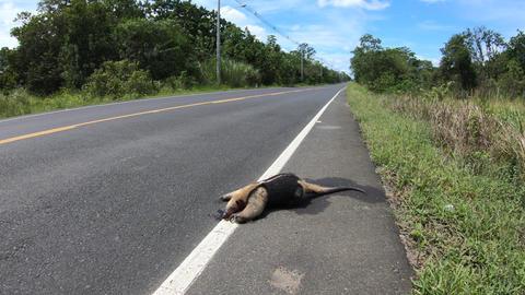 2 Tamandua Roadkill Wild Animal Killed On The Road Panama Live Action
