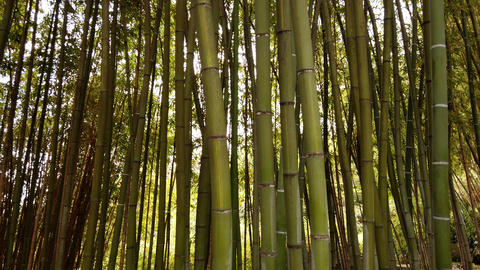 Pov walking alone between beautiful giant green Japanese bamboo forest Live Action