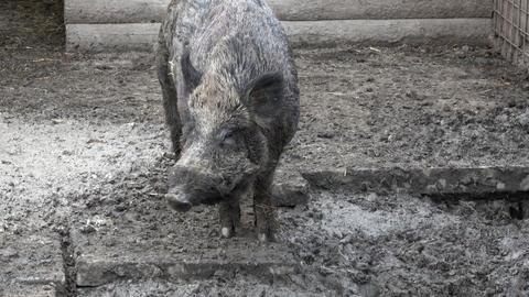 Wild boar (Sus Scrofa) Live Action
