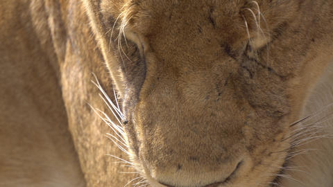 Lion Female aka Lioness Extreme Close Up. Wild Animal Resting in African Savanna Live Action