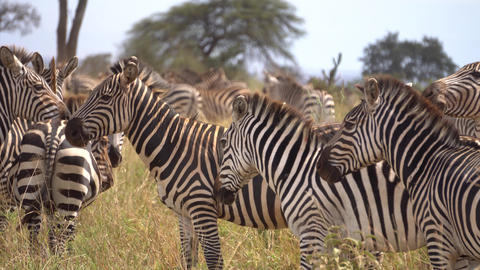 Close Up of Zebra Herd in Meadow of African Savannah. Exotic Animals Safari Live Action
