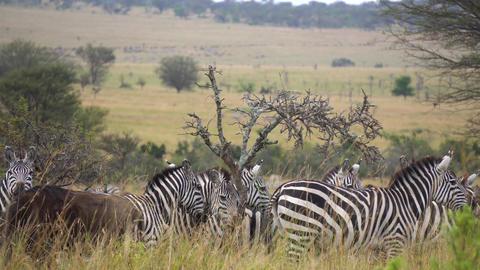 Zebra Herd and Wildebeest Antelope Together in Meadow of African Savanna Live Action