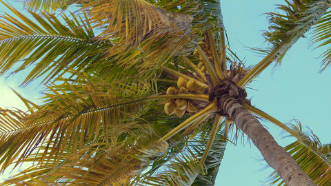 Coconut palm trees bottom view. Tropical scene Live Action