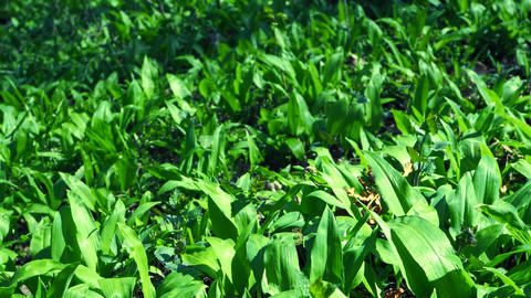 Leaves detail of wild garlic in spring forest. Green springtime forest with wild bears garlic and Live Action