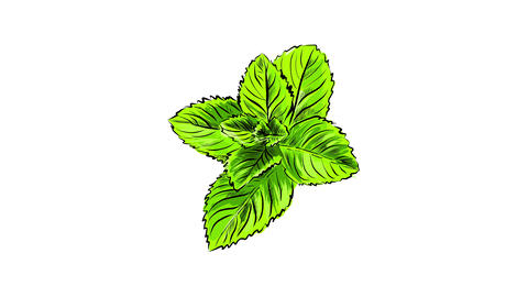 organic fresh mint sprig drawn digitally with pencil strokes and painted with different tones of Animation
