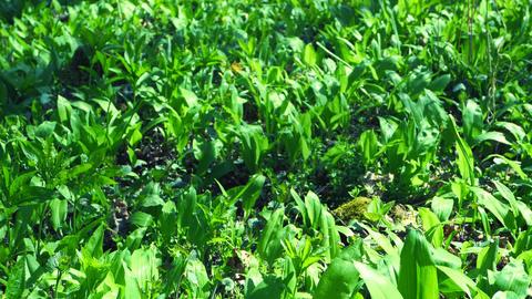 Leaves carpet of herb garlic broad or leaved garlic or bear leek garlick. Popular and healthy edible Live Action