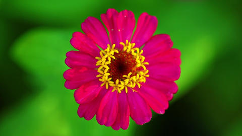 One Single Pink Zinnia Flower Footage Bokeh Backdrop Live Action