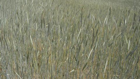 Crops Calm Down Footage