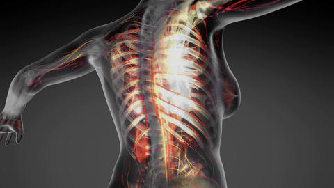 loop science anatomy of human body in x-ray with all colored organs in gray Animation