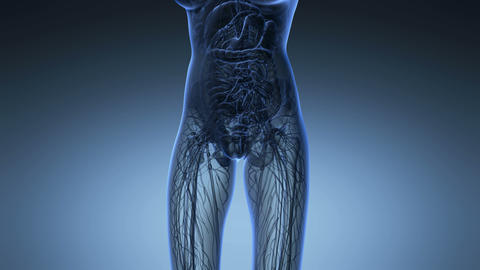science anatomy of human body in x-ray with all organs in blue Animation