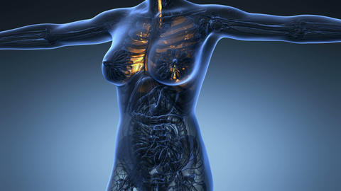 science anatomy of human body in x-ray with glow lungs on blue background Animation