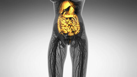 science anatomy of woman body with glow digestive system in white Animation