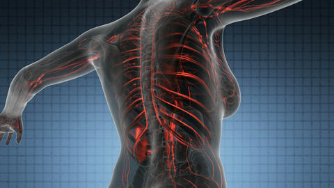 science anatomy scan of human body with red blood vessels on blue Animation