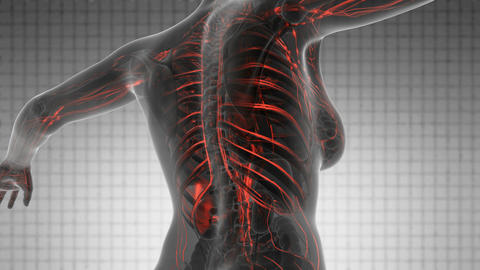 science anatomy scan of human body with red blood vessels on white Animation