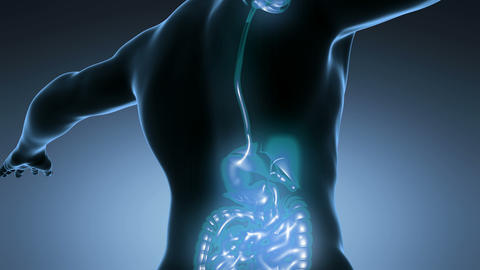 loop science anatomy of man body with glow digestive system on blue Animation