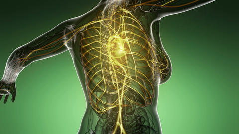 loop science anatomy scan of woman heart and blood vessels glowing Animation