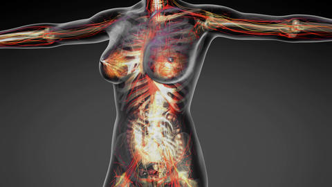 science anatomy of human body in x-ray with all colored organs in gray Animation