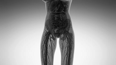 science anatomy of human body in x-ray with all organs in white Animation