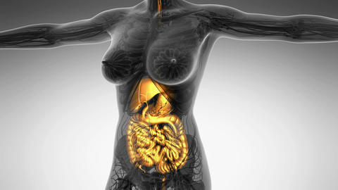 science anatomy of human body in x-ray with glow digestive system Animation