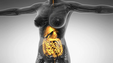 science anatomy scan of human digestive system glowing Animation