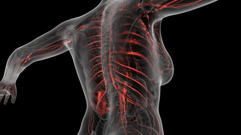 science anatomy scan of human body with red blood vessels. PNG with Alpha Animation