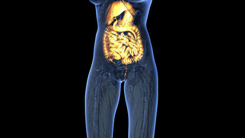 science anatomy of woman body with glow digestive system in blue. alpha Animation