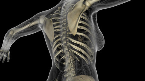 science anatomy scan of human body with skeletal bones. PNG with Alpha Animation