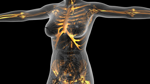 science anatomy of human body in x-ray with glow skeleton bones. alpha channel Animation