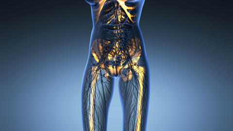 science anatomy of human body in x-ray with glow skeleton bones on blue Animation