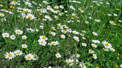 Spring daisy flowers rural outdoor meadow,nature wind motion plant Live Action