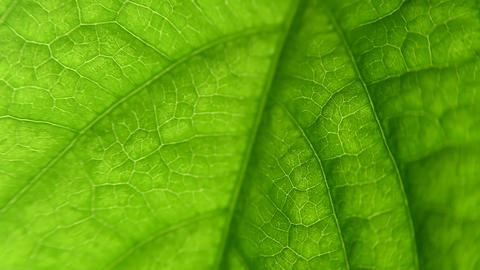 macro leaf plant. close-up with capulars and plant structure. Biology Live Action