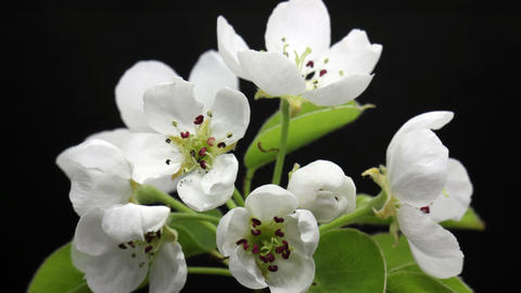 Cherry flowers raise up its flowers, spring flowers opening. Beautiful Spring Live Action