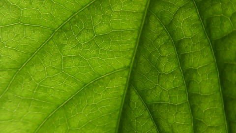 texture of the leaf of the plant. macro world. biology microscope Live Action