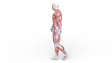 Muscle Animation