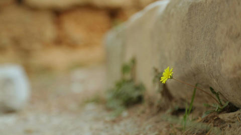 Beautiful flower blooming under heavy stone of ancient ruins, new beginning Footage